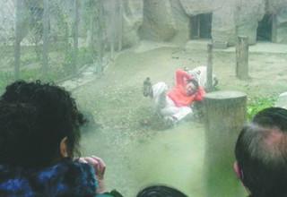 Мужчина пытался скормить себя тиграм в китайском зоопарке
