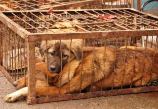 5 фактов, которые нужно знать о китайском фестивале поедания собак