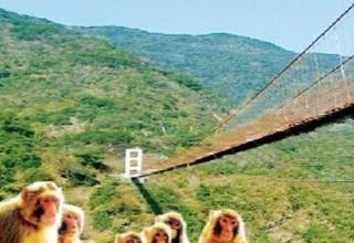 В Китае построят мост для обезьян