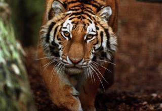 Китайские пограничники заподозрили путинского тигра в нападении на курятник