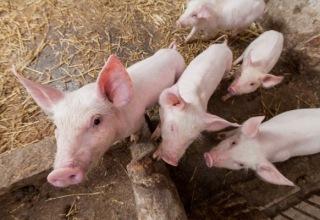 Свинина из Китая впервые за 10 лет возвращается на российский рынок