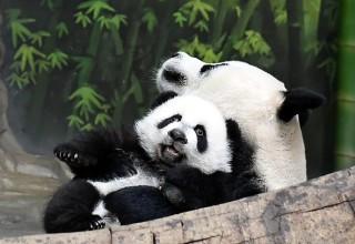 Трогательное видео из Китая: тройня малышей-панд вернулась к маме