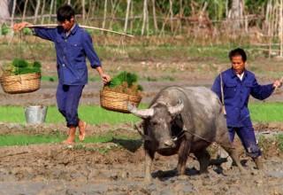 Китай намерен ускорить модернизацию сельского хозяйства