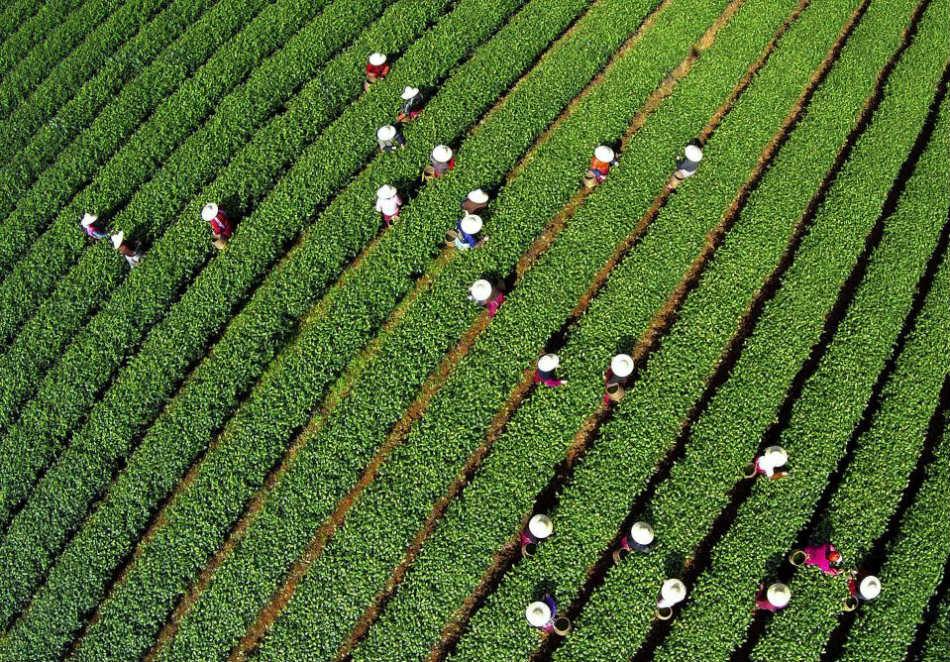 ханчжоу чай