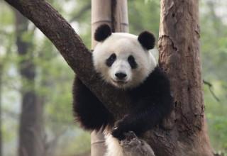 Покусанный пандой житель провинции Ганьсу получил компенсацию в размере $83 тыс