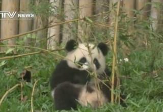 Единственная в мире тройня панд перешла на бамбук