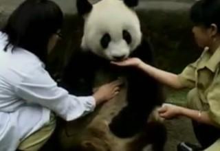 Старейшая панда Китая празднует 35-летие
