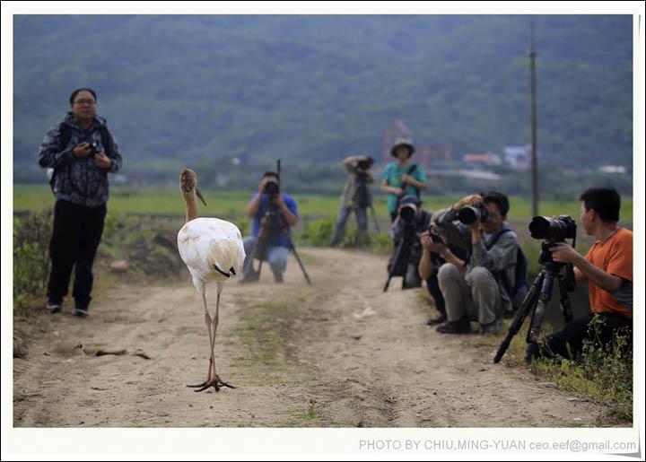 Каждый день люди приезжают смотреть на единственного на всем острове сибирского журавля. Фото: The Siberian Times