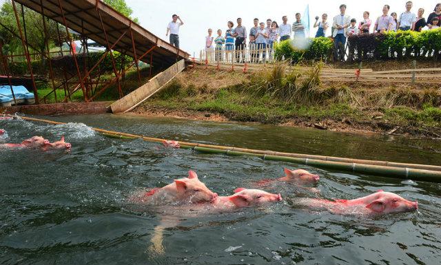 хунань заплыв свиней