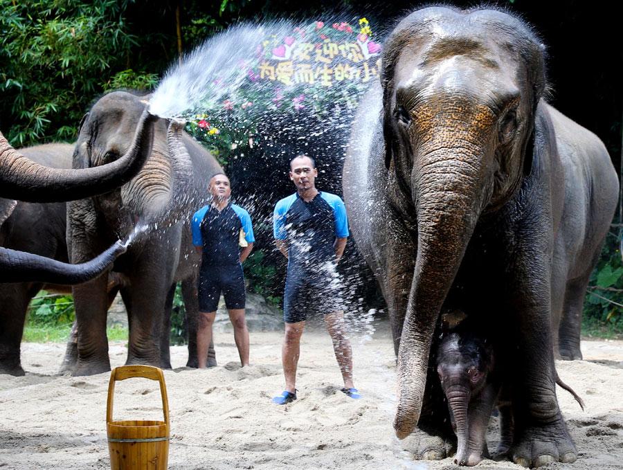 Детеныш индийского слона прячется за мамиными ногами в сафари-парке города Гуанчжоу. Это первое появление  на публике слоненка, который родился 30 мая.