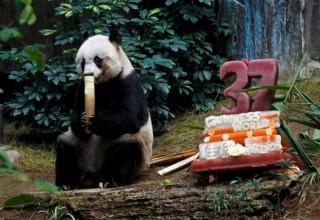 В Гонконге старейшей панде исполнилось 37 лет