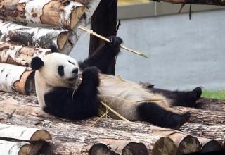 Исследование: панды — самые ленивые медведи