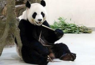 В Тайване панда притворялась беременной для получения лучших условий