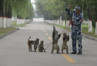 Отряд обезьян очистит небо от птиц для парада в Пекине