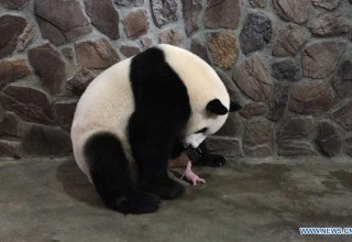 Панды-близнецы родились в китайском заповеднике