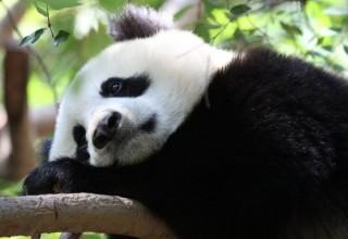 3 китайца признаны виновными в убийстве панды и продаже ее мяса