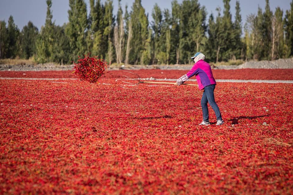 Крестьянка сушит перец чили у подножия гор Тяньшань, Синьцзян.
