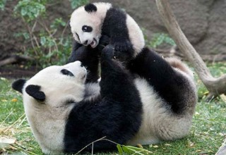 «Ва-ва» и «гу-гу»: в Китае расшифровали язык больших панд