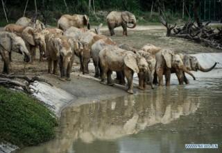 Зимбабве планирует продавать слонов Китаю для финансирования своих заповедников