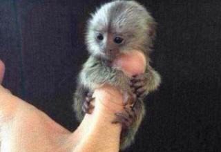 «Пальчиковая» обезьянка: Элитный подарок на китайский Новый год