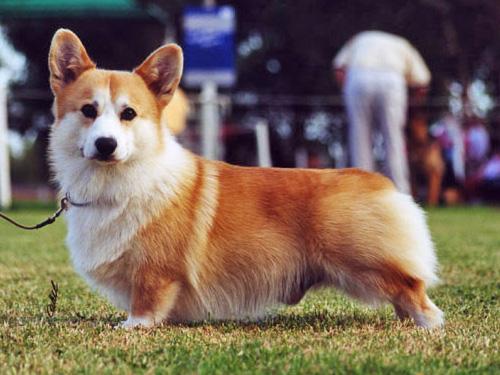 Стоимость собаки породы вельш-корги пемброк составляет $1840 по данным британской прессы. Фото: animal.ru