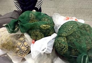 80 живых черепах конфискованы на границе КНР и Гонконга