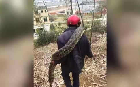Гигантская змея в китае, гигантский питон в китае