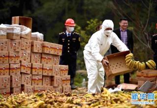 В Шэньчжэне уничтожена крупная партия импортных бананов