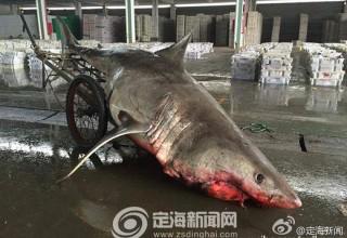 Китайский рыбак поймал акулу весом в 500 кг