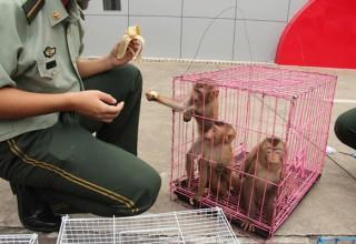Китайская полиция обнаружила 37 диких обезьян вместо любовницы
