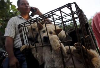 64% китайцев выступают за запрет «фестиваля собачьего мяса» в Юйлине