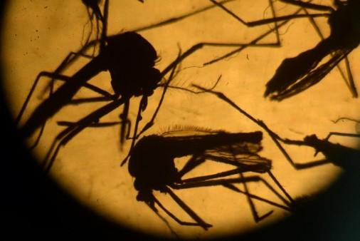 комар Aedes aegypti