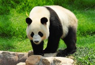Большую панду исключили из Красной книги как вымирающий вид