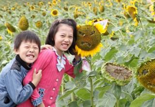 В Китае туристы массово изуродовали подсолнечное поле