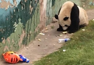 Больше не вымирающий вид: В китайском зоопарке панда питается мусором