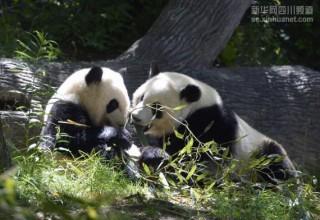 Панды столкнулись с языковым барьером после переезда из США в Китай