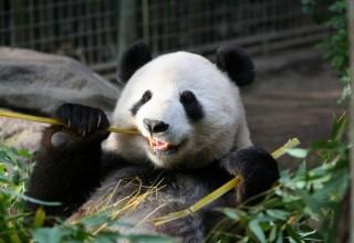 Китаец предложил производить бумагу из экскрементов панд