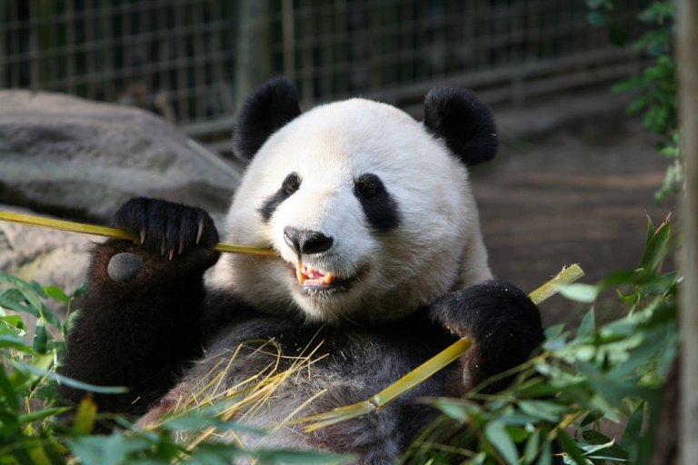 панда бумага
