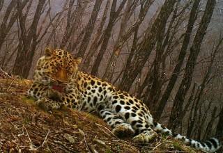 В Китае создадут национальный парк тигра и леопарда на границе с Россией