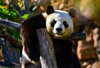 В Китае переселят 172 тысячи человек ради благополучия панд