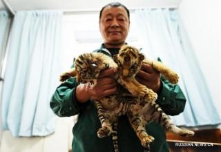 На российско-китайском пограничье – бэби-бум уссурийских тигров