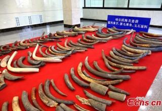 В Китае конфискована тонна бивней мамонта из России