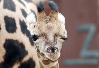 В китайском зоопарке жирафенка спасли от голода с помощью африканской музыки