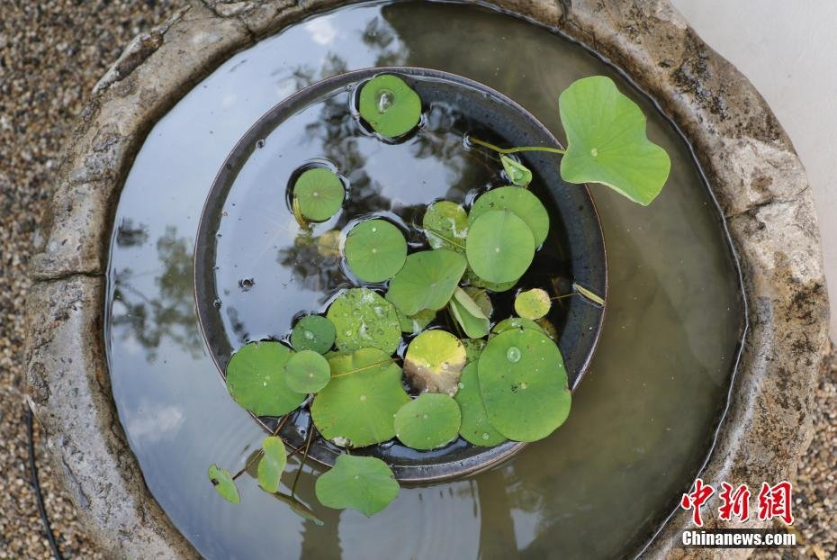 ancient_lotus_seed_come_back_live_china_1
