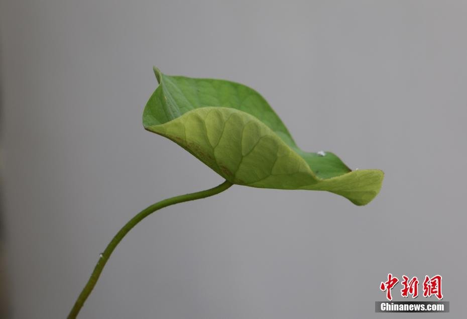 ancient_lotus_seed_come_back_live_china_2