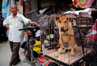 В Китае запретили продажу мяса собак на фестивале собачьего мяса