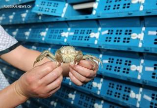 В Китае построили инновационный инкубатор для крабов