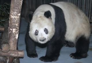 Умерла одна из старейших панд в мире
