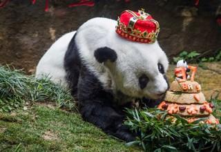 В Китае умерла самая старая панда на планете