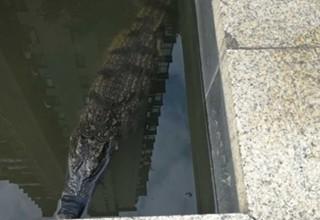 «Я его позже съем»: китаец оставил крокодила в общественном пруду